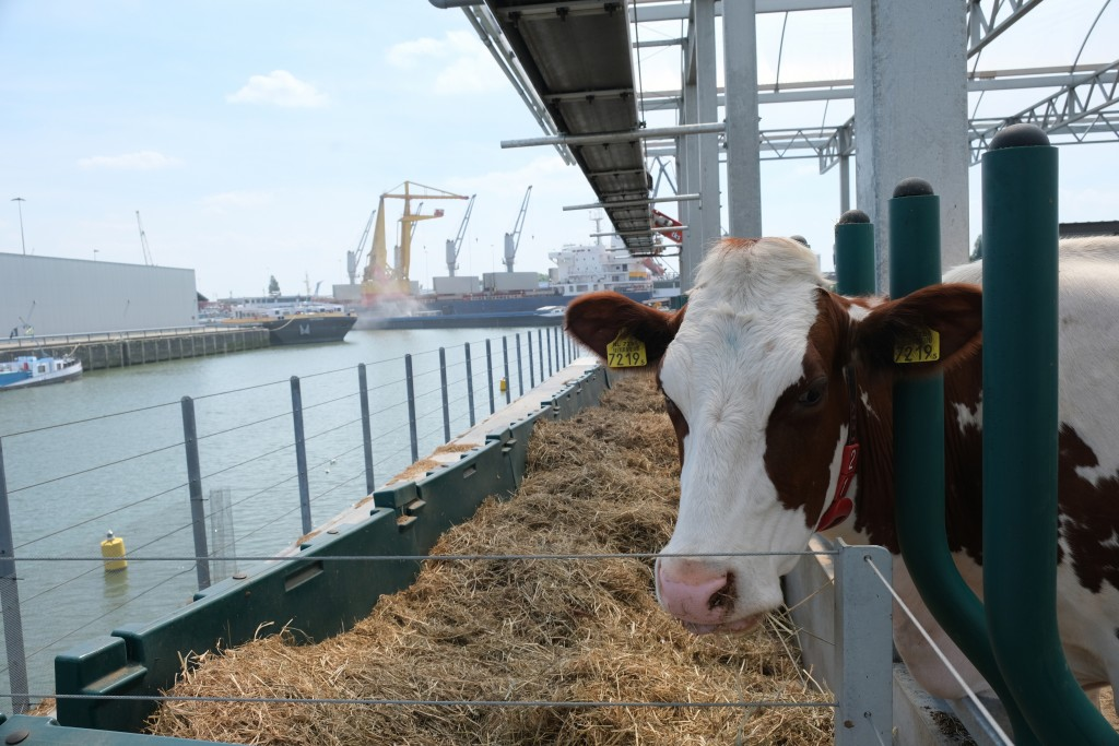In this photo taken Monday, June 24, 2019, one of the inhabitants of a futuristic three-storey floating dairy farm moored in Rotterdam harbour, Nether...