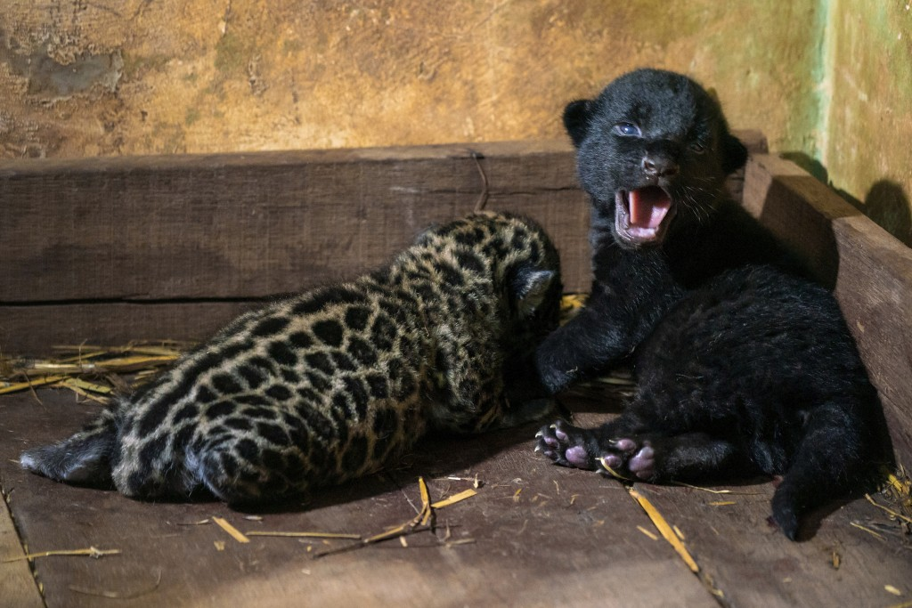In this handout photo provided by Itaipu Binacional, a spotted male Jaguar cub rests facing the wall as his sister cub meows, at Itaipu Park in Foz do...