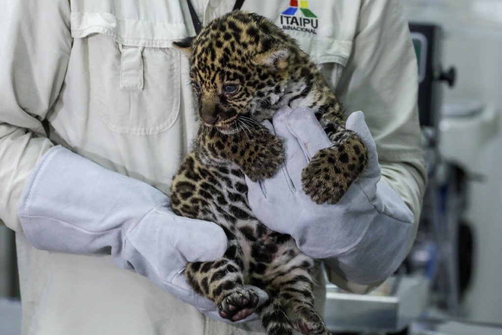 In this handout photo provided by Parque Tecnológico Itaipu, biologist Marcos Jose de Oliveira holds a spotted male Jaguar cub at a lab in Itaipu Park...