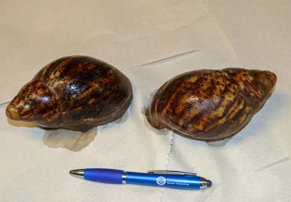 This photo provided by U.S. Customs and Border Protection shows two Giant African Snails that were seized at Hartsfield-Jackson Atlanta International ...