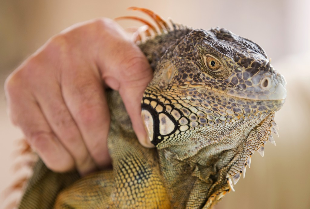 FILE - In this Feb. 9, 2017, file photo, trapper Brian Wood holds an iguana he caught behind a condominium in Sunny Isles Beach, Fla. A Florida Fish a...