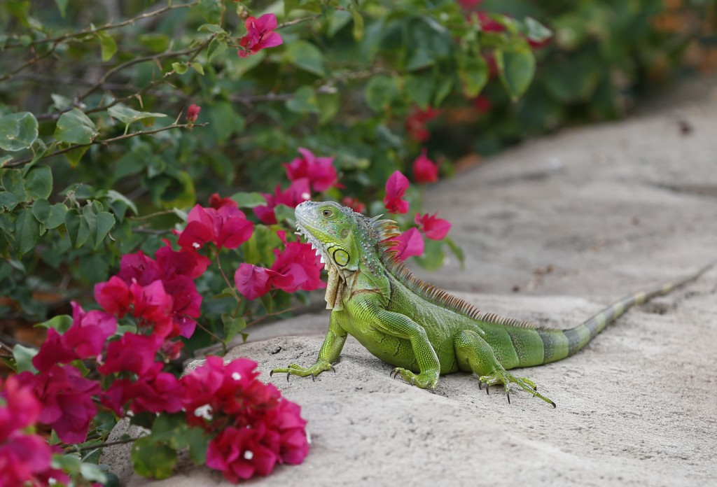 FILE - In this Dec. 7, 2016, file photo, a green iguana checks out the flowers on a Bougainvillea plant in Hollywood, Fla. A Florida Fish and Wildlife...