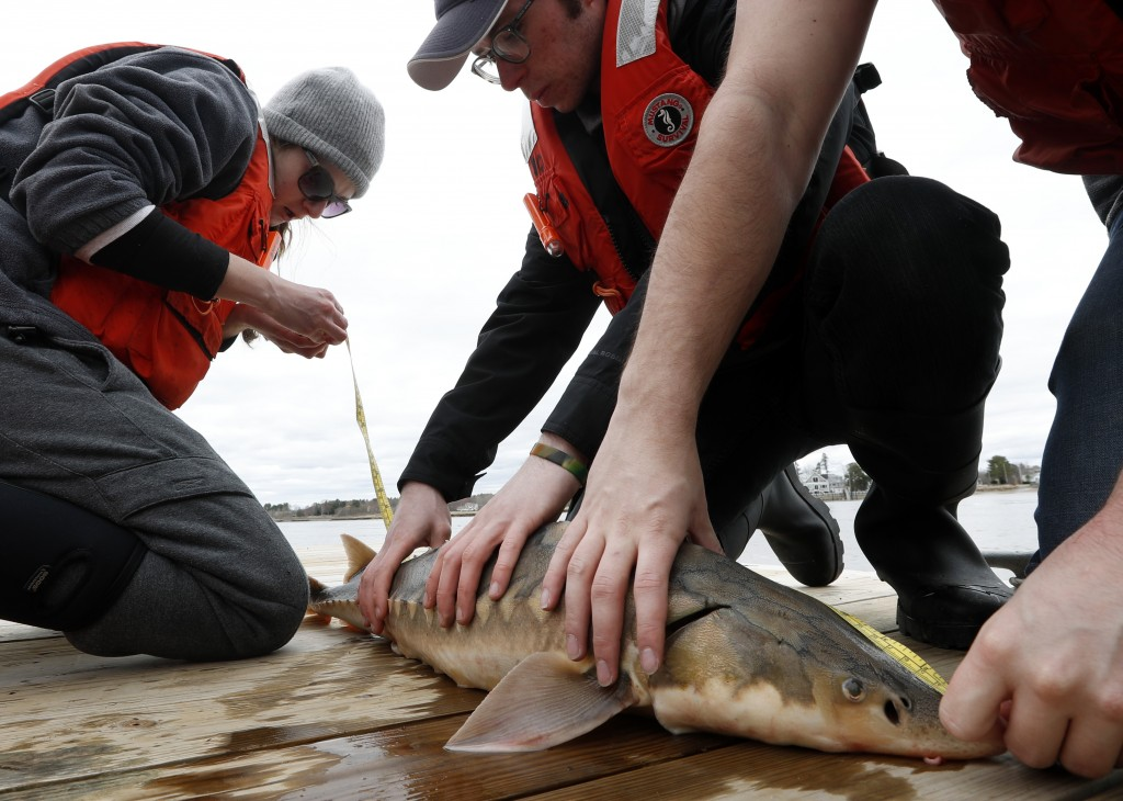 In this Thursday, April 25, 2019 photo, an endangered shortnose sturgeon is measured by Hannah Verkamp, left, a student at the University of New Engla