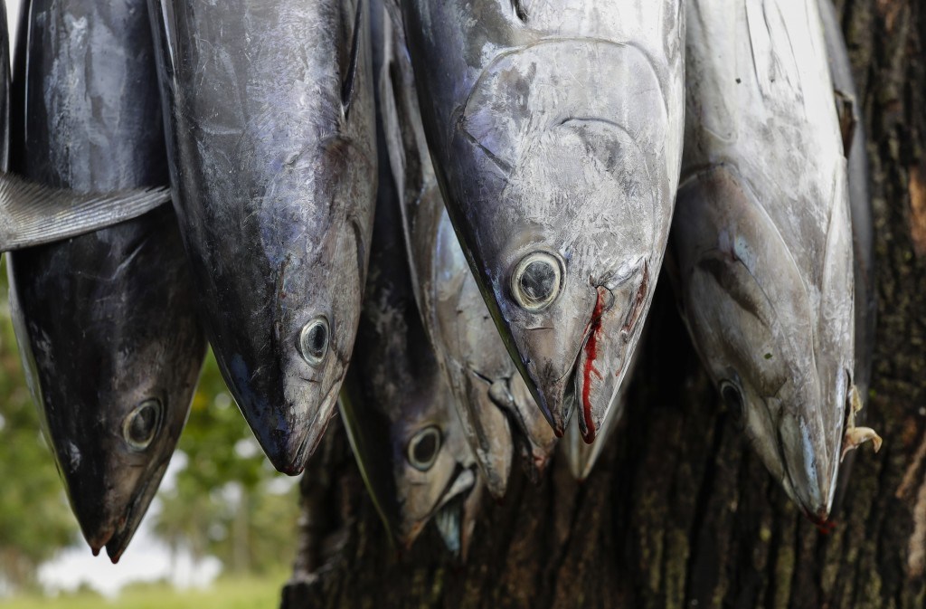 In this Wednesday, April 10, 2019, photo, fish hang for sale at a roadside stall outside Nuku'alofa, Tonga. China is pouring billions of dollars in ai