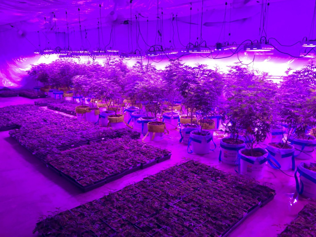 In this Monday, July 8, 2019 photo provided by Troy Young, hemp plants grow under the harsh, purple glow of LED lights at an indoor facility in North