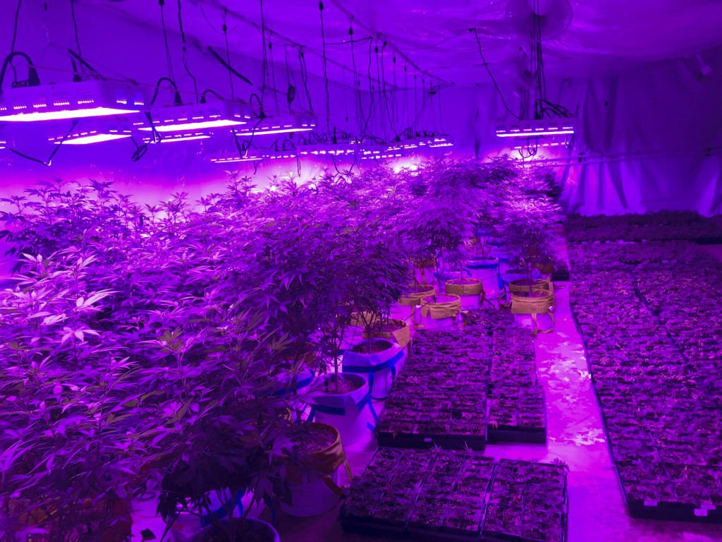 In this Monday, July 8, 2019 photo provided by Troy Young, hemp plants grow under the purple glow of LED lights at an indoor facility in North Salt La