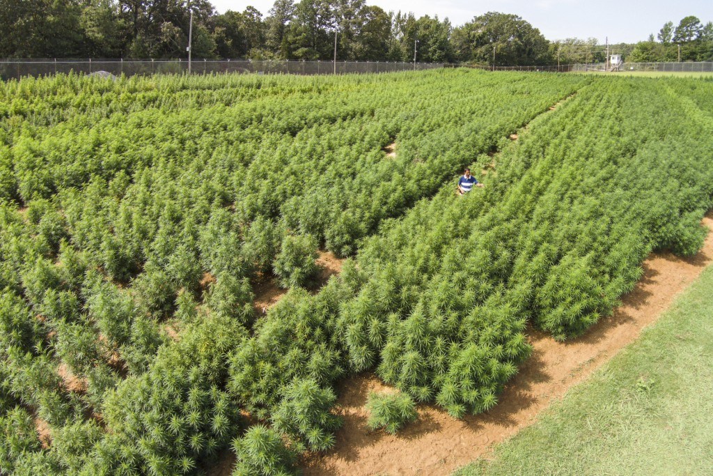 In this 2014 photo provided by the University of Mississippi, Dr. Suman Chandra inspects marijuana plants growing at the Ole Miss medicinal gardens in...