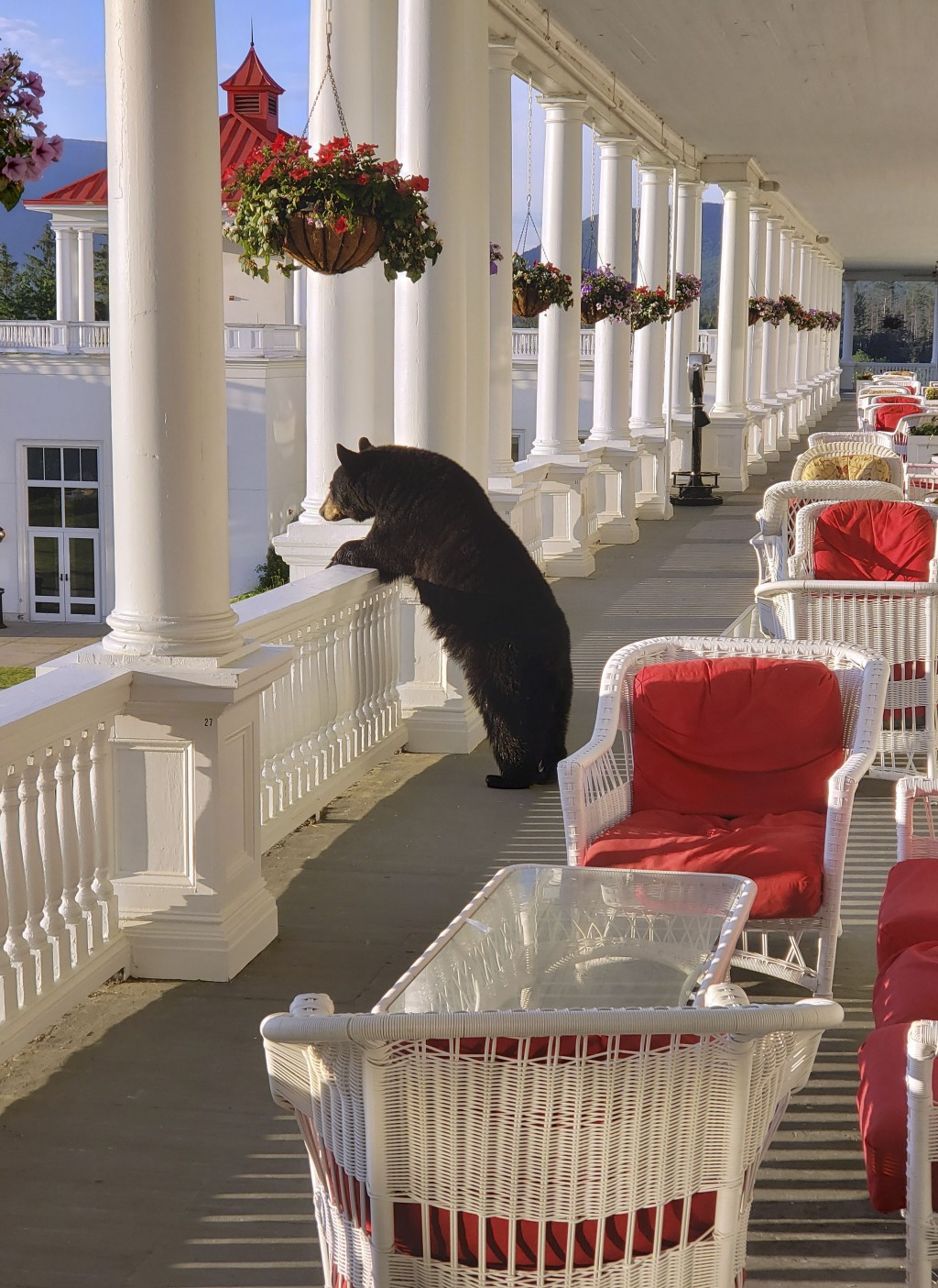 In this Saturday, June 29, 2019 photo provided by Sam Geesaman, a black bear peers over a railing on the back veranda at the Omni Mount Washington Res