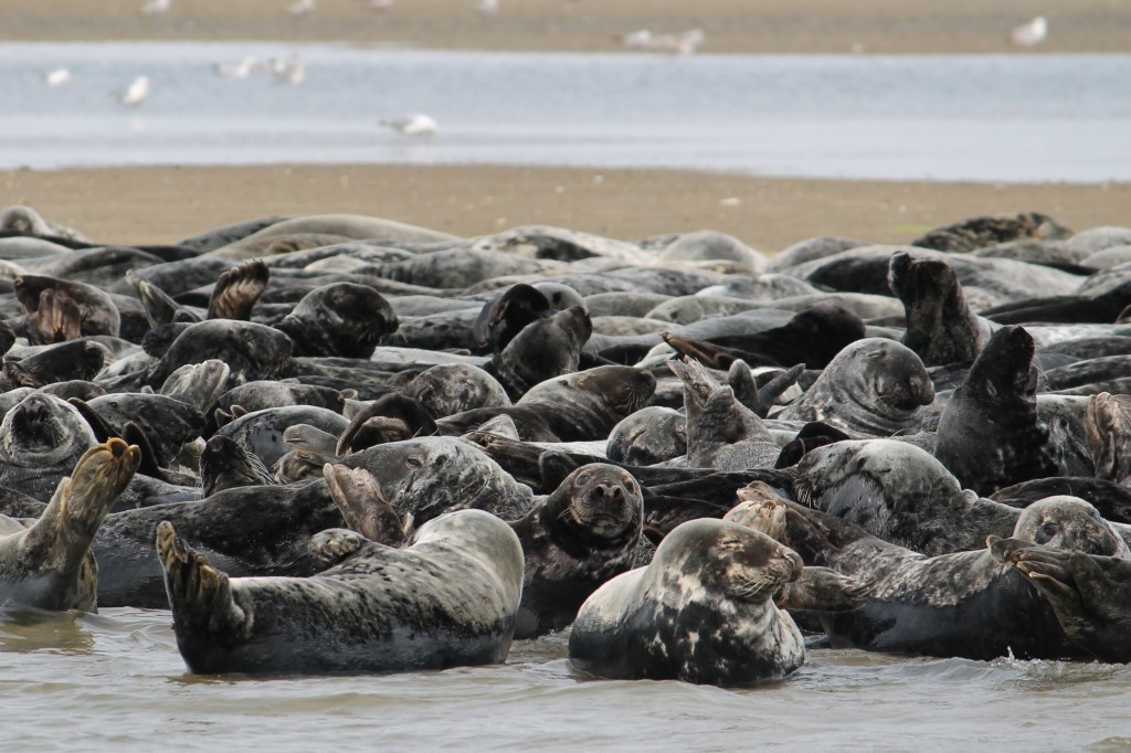 In this July 11, 2019 photo provided by Erin Minichiello, a herd of seals rest on a sandbar in Chatham Harbor in Chatham, Mass. Peter Howell, a founde...