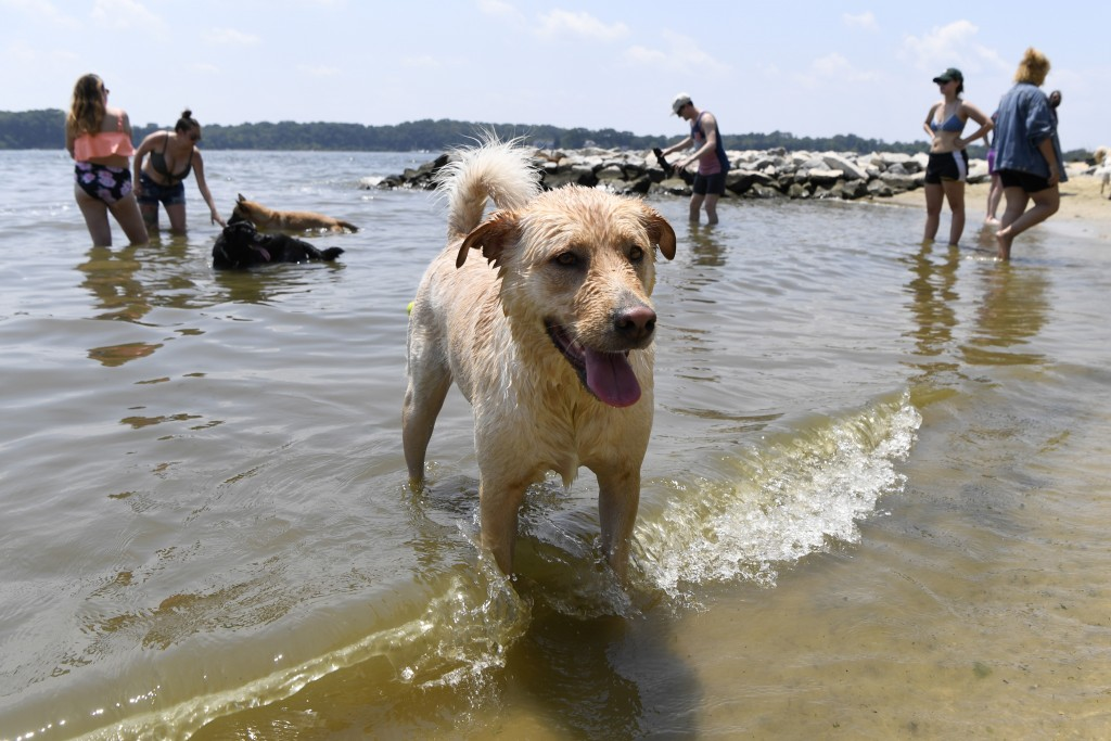"Finnegan plays at the dog beach at Quiet Waters Park in Annapolis, Md., Saturday, July 20, 2019. The National Weather Service said ""a dangerous heat w..."