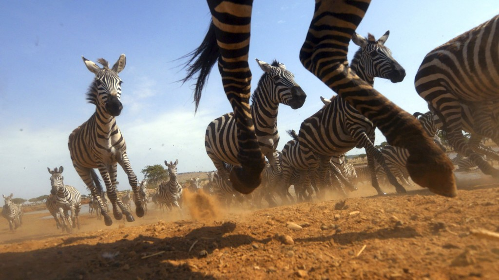 "This image released by Discovery shows a Zebra stampede from episode four of ""Serengeti,"" a six-part series premiering Sunday, August 4. (Geoff Bell/D..."