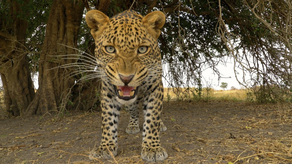 "This image released by Discovery shows a Leopard from episode four of ""Serengeti,"" a six-part series premiering Sunday, August 4. (Geoff Bell/Discover..."