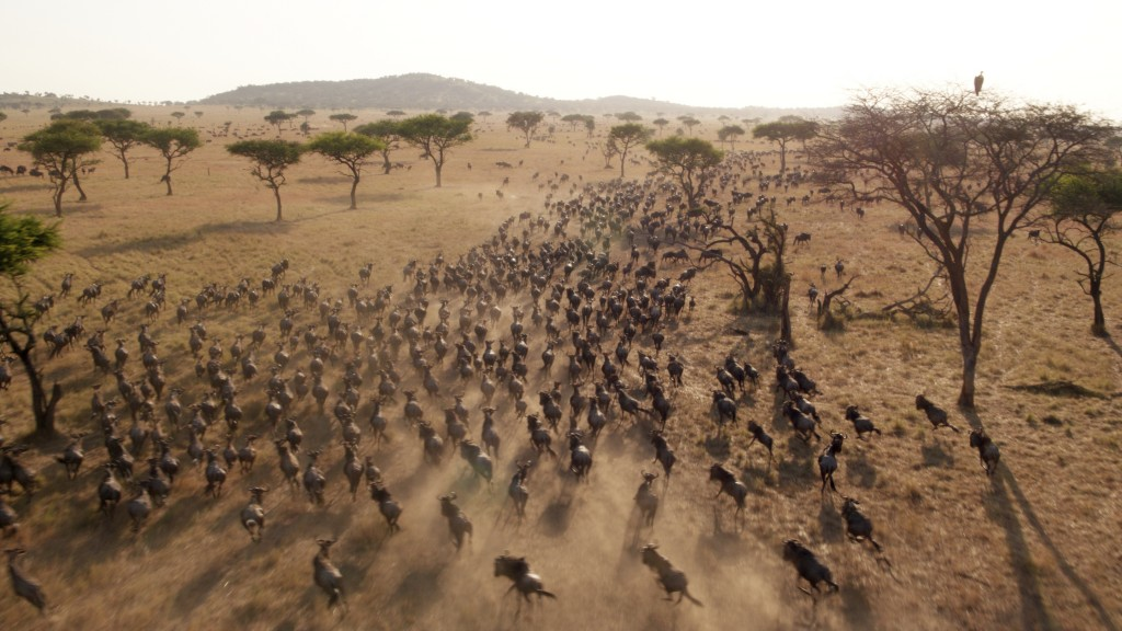 "This image released by Discovery shows Wildebeest migrating in a scene from episode three of ""Serengeti,"" a six-part series premiering Sunday, August ..."