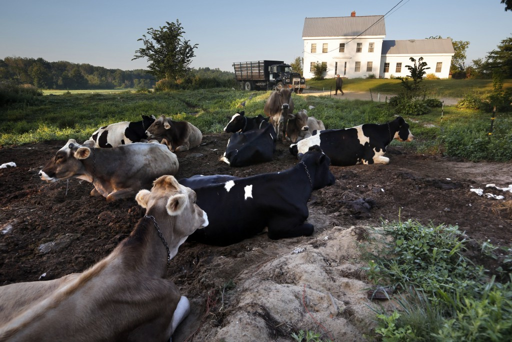 In this Thursday Aug. 15, 2019 photo, dairy cows rest outside the home of Fred and Laura Stone at Stoneridge Farm in Arundel, Maine. The farm has been