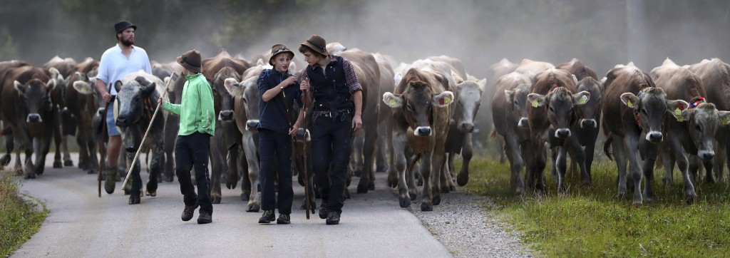 Bavarian herdsmen drive their beasts on a road during the return of the cattle from the summer pastures in the mountains near Bad Hindelang, Germany, ...