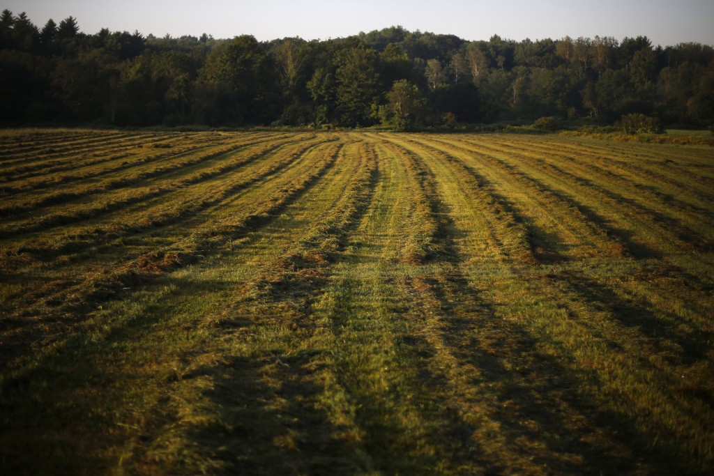 In this Thursday Aug. 15, 2019 photo, hay dries after a recent cut at Stoneridge Farm in Arundel, Maine. The farm has been forced to shut down after s
