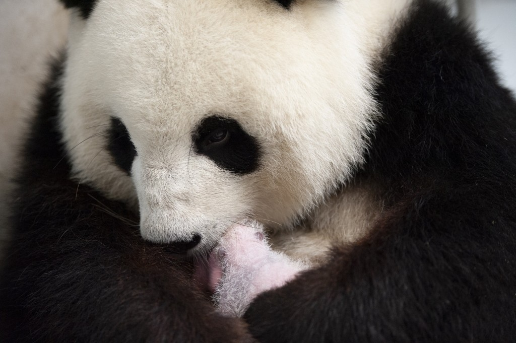This photo provide by the Berlin Zoo on Friday, Sept. 13, 2019, female Panda Meng Meng holds one of her new panda twins at the Berlin Zoo. Female Pand