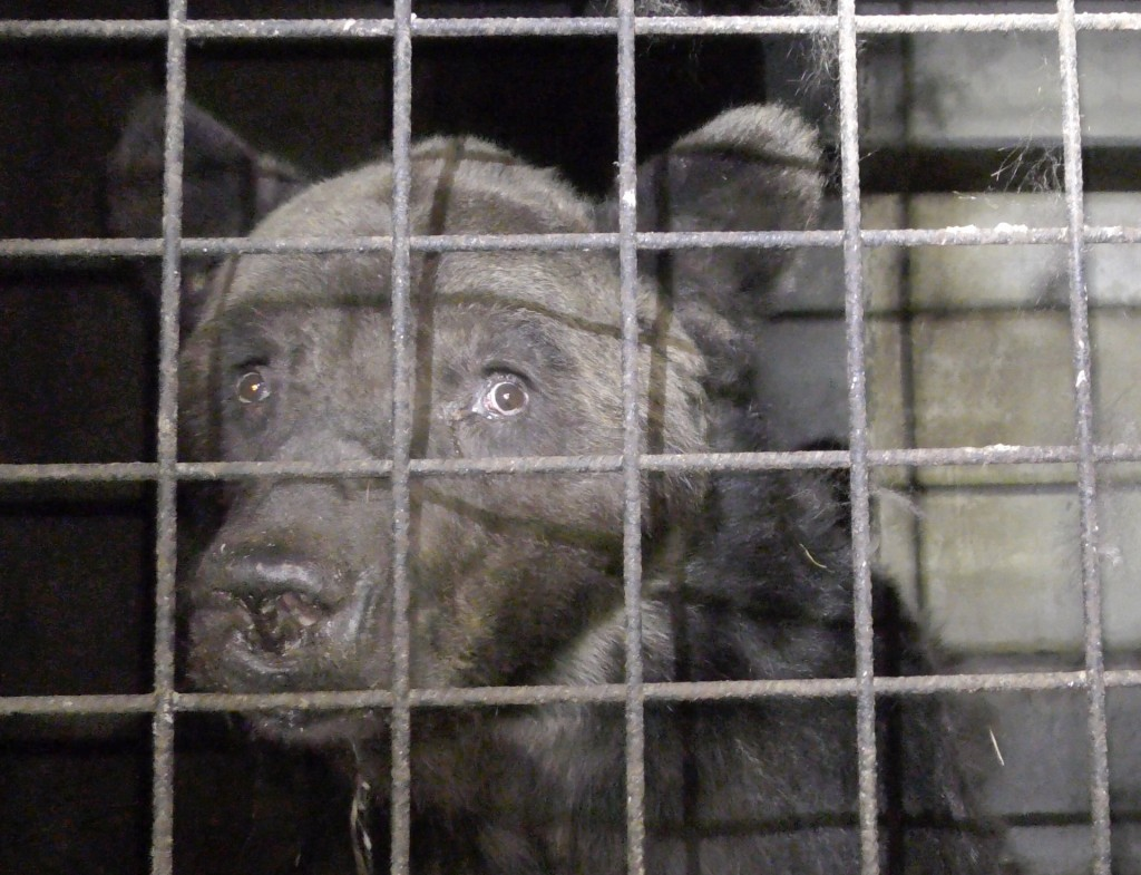 This photo provided Friday Sept.13, 2019 by animal protection group One Voice shows bear Mischa in its cage in Chauvigny-du-Perche, France on Sept.3;