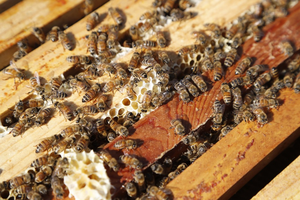 In this July 11, 2019 photo, a swarm of bees is seen at the Henry Ford farm in Superior Township, Mich. A beekeeping program, Heroes to Hives, taught ...