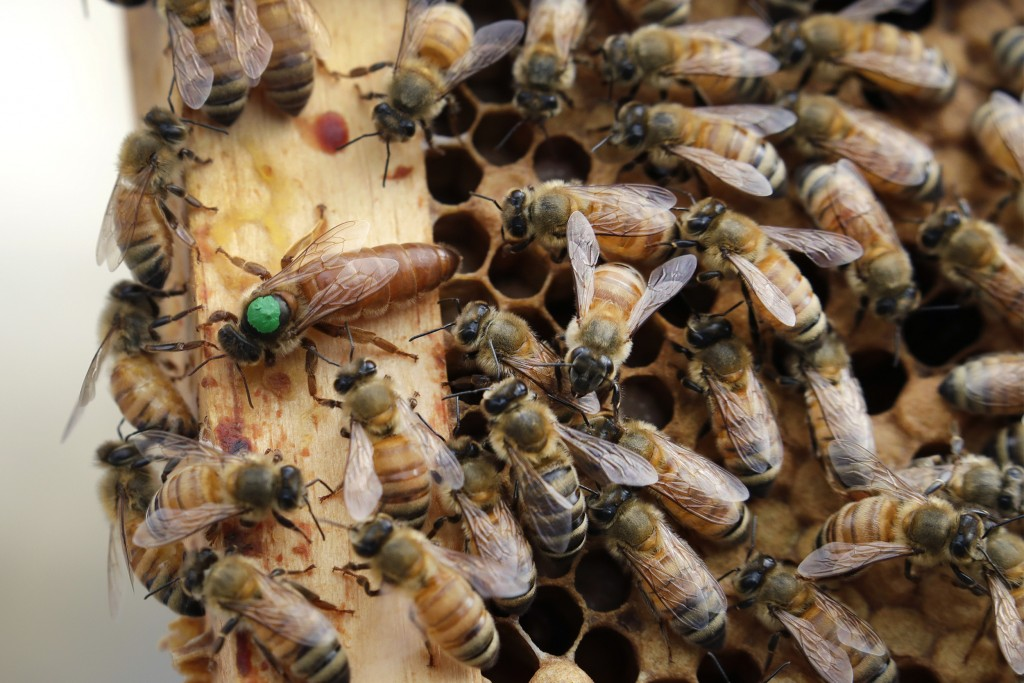In this Aug. 7, 2019 photo, the queen bee (marked in green) and worker bees move around a hive at the Veterans Affairs in Manchester, N.H. Veterans in