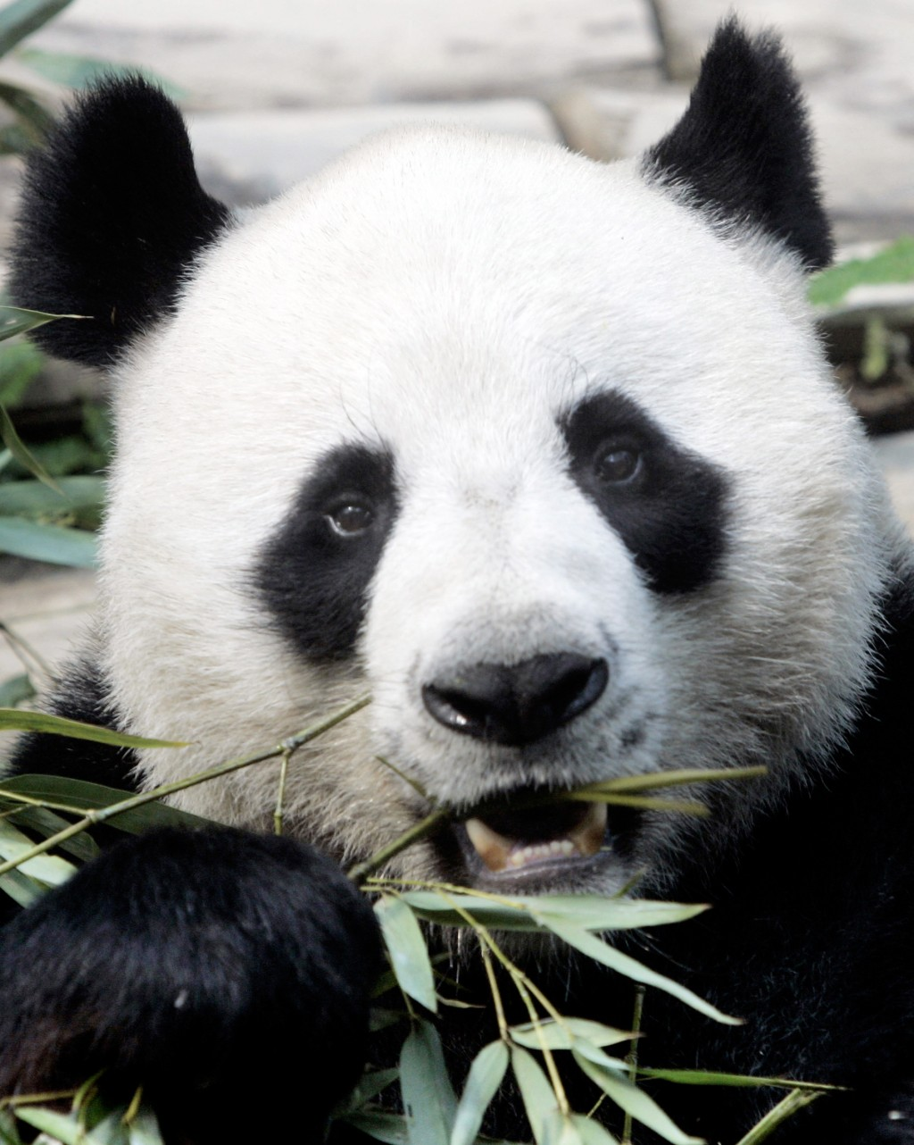 File- In this April 4, 2007. file photo, a male panda named Chuang Chuang chews bamboo leaves inside its cage at the Chiang Mai zoo in Chiang Mai prov