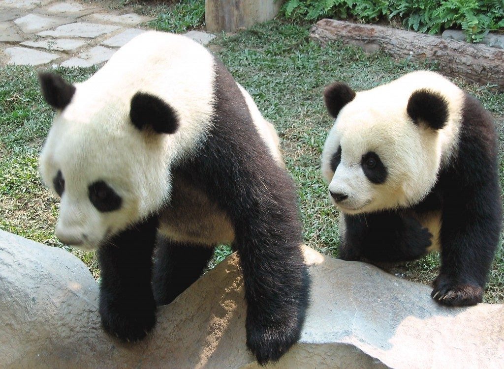 File- In this Nov. 2003. file photo, the two giant pandas Chuang Chuang, left, and Lin Hui, are seen in their cage in the Chiang Mai Zoo in Chiang Mai...
