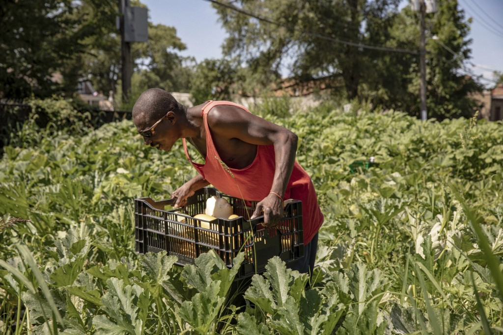 In this Friday, Aug. 9, 2019, photo, Stanford Williams works at the Growing Home, Inc. farm in Chicago's Englewood neighborhood. Large cities across t...