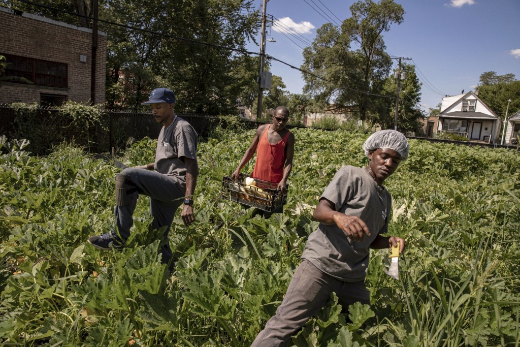 In this Friday, Aug. 9, 2019, photo, Maurice McCary, left, Stanford Williams, center and Torreyon Simmons, work at the Growing Home, Inc. farm in Chic...