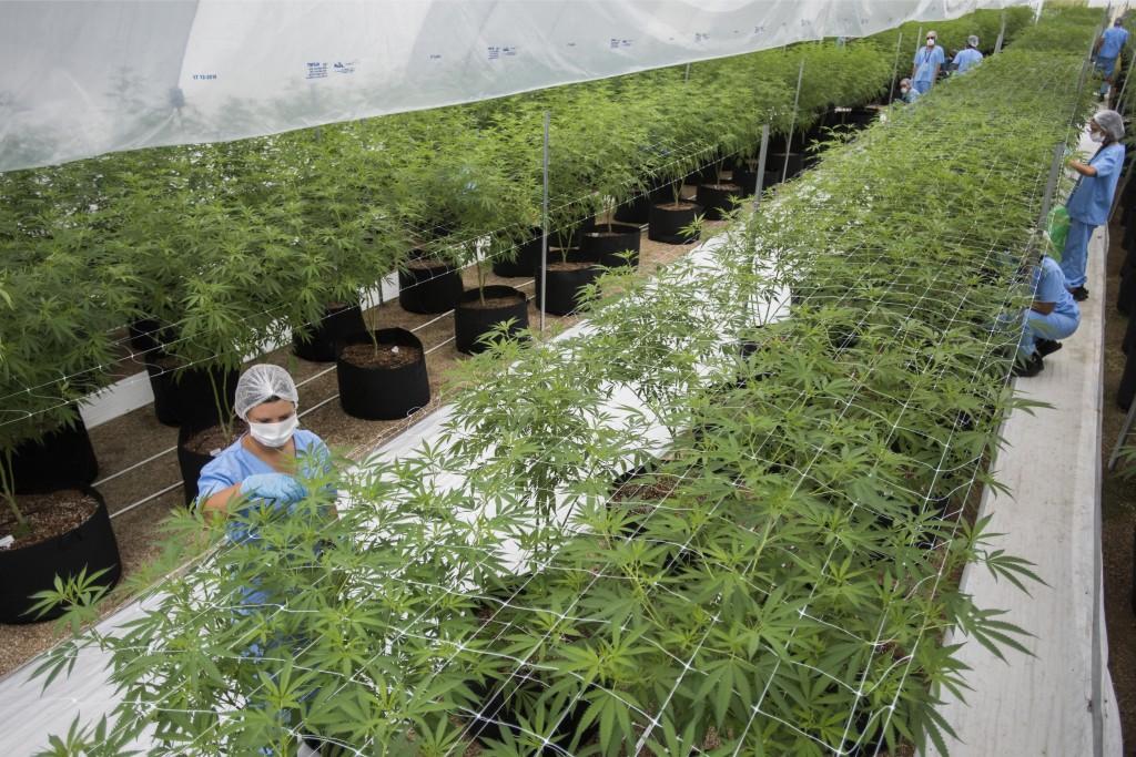 In this Jan. 30, 2019 photo, workers trim marijuana plants at Fotmer, in Nueva Helvecia, Uruguay. Uruguayan based company Fotmer confirms the recent s...