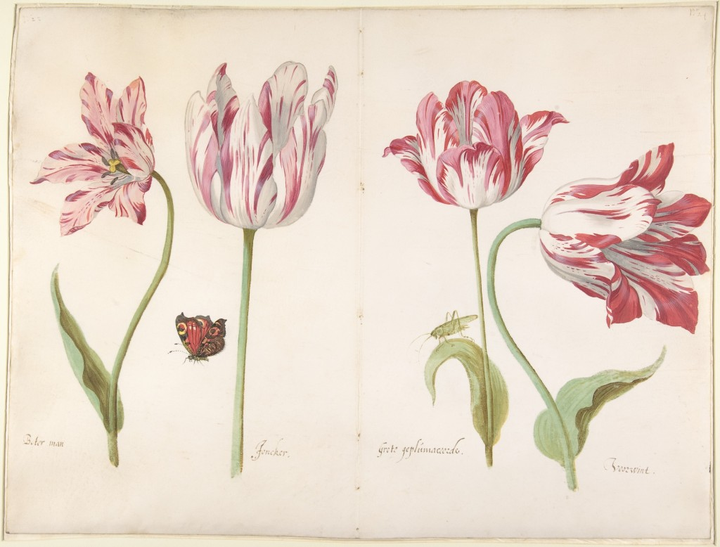 """This photo provided by The Metropolitan Museum of Art shows a watercolor on vellum by Jacob Marrel titled """"Four Tulips: Boter man (Butter Man), Joncke..."""