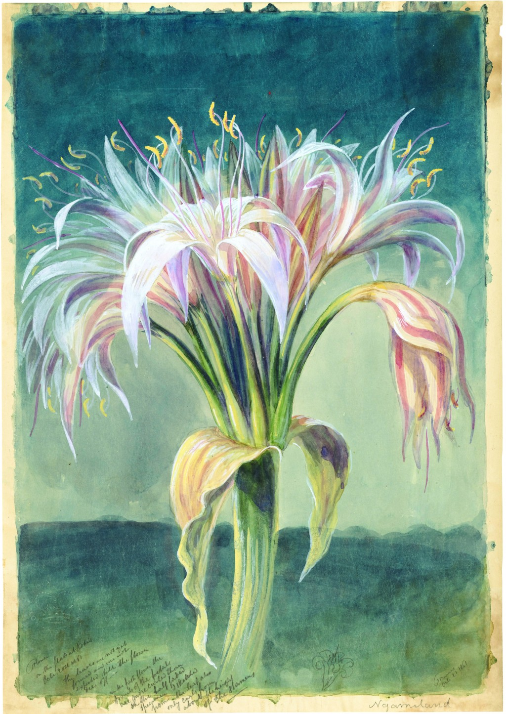 """This photo provided by Princeton Architectural Press shows the botanical sketch """"Magnificent Crinum crassicaule"""" from Thomas Baines featured in the bo..."""