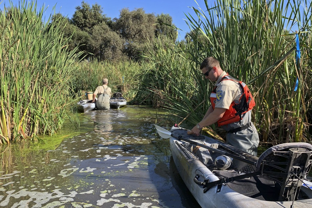 In this photo taken Sept. 12, 2019, Sean McCain, a scientist with the California Department of Fish and Wildlife, cuts a sweet potato on a kayak in a ...