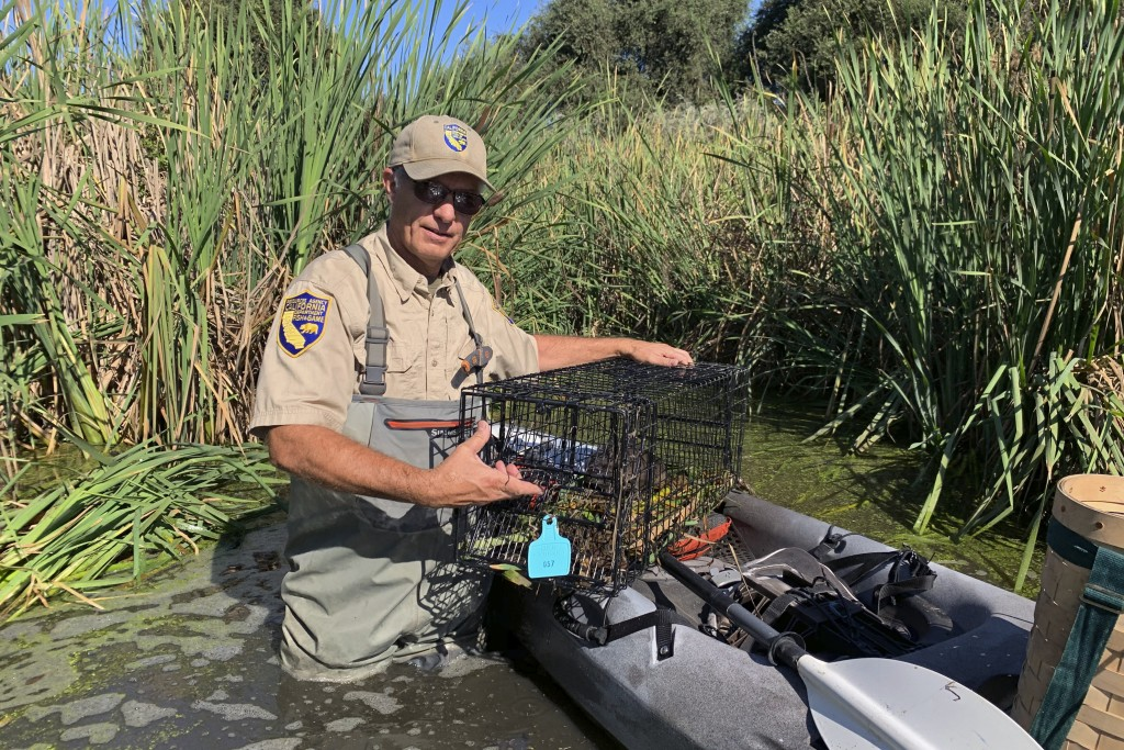 In this photo taken Sept. 12, 2019, Greg Gerstenberg, a senior wildlife biologist with the California Department of Fish and Wildlife, shows a muskrat