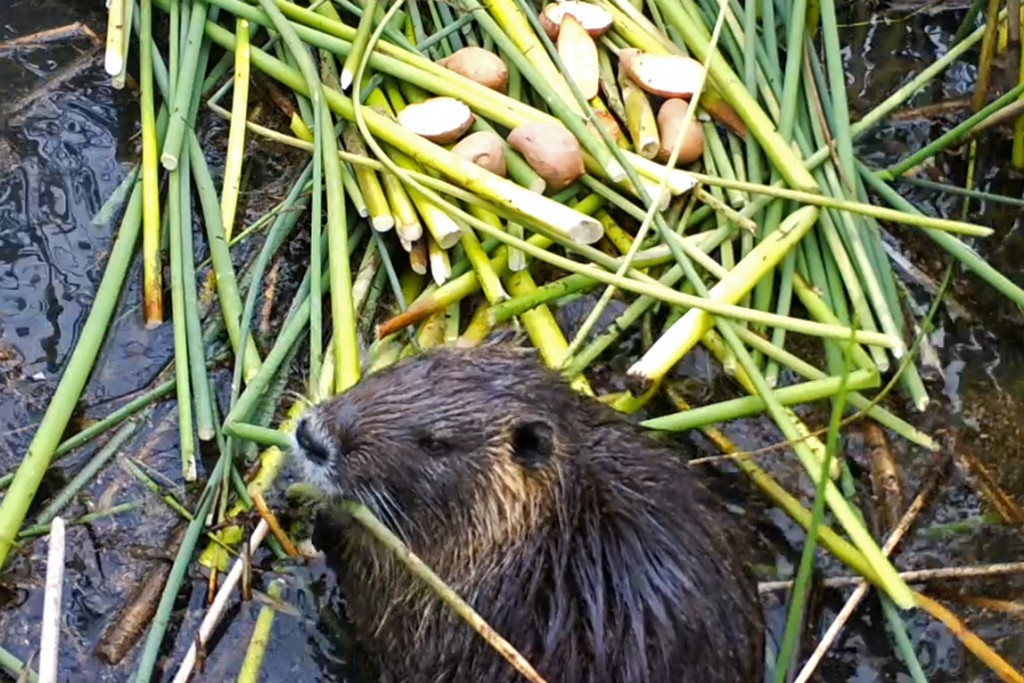 This April 18, 2019, photo provided by the California Department of Fish and Wildlife shows a nutria in Merced County, Calif. With $10 million in stat