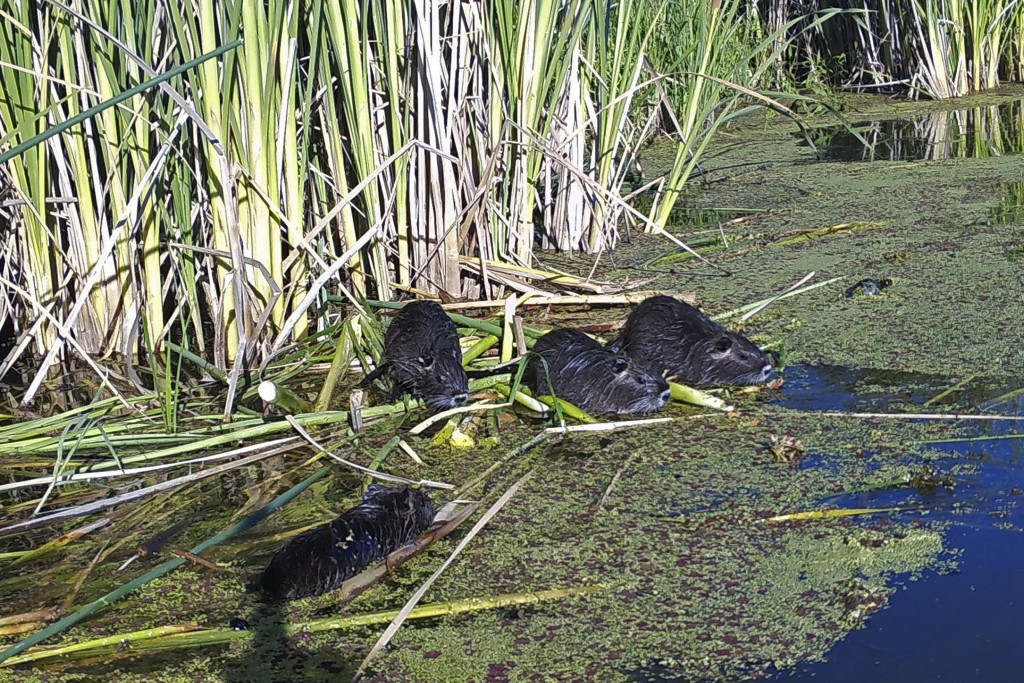 This May 18, 2018, remote camera image provided by the California Department of Fish and Wildlife shows nutria in Merced County, Calif. With $10 milli...