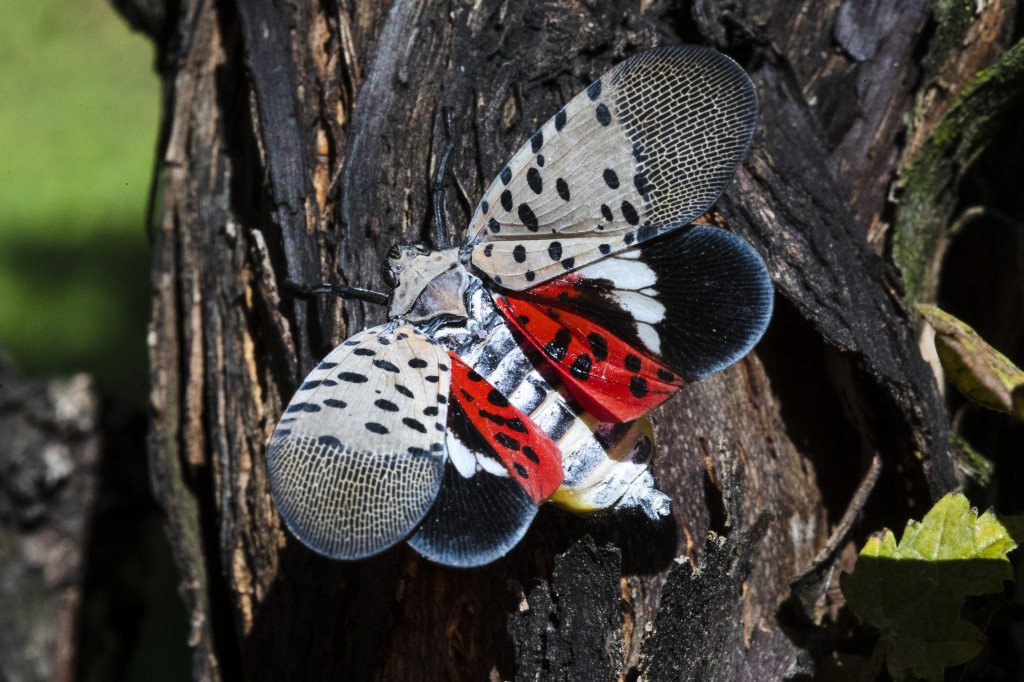 This Thursday, Sept. 19, 2019, photo shows a spotted lanternfly at a vineyard in Kutztown, Pa. The spotted lanternfly has emerged as a serious pest si...