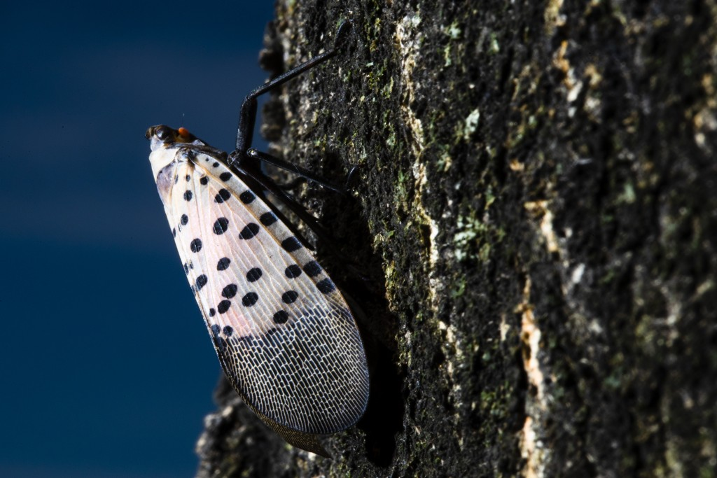 In this Thursday, Sept. 19, 2019, photo, a spotted lanternfly sets on a tree in Kutztown, Pa. The spotted lanternfly has emerged as a serious pest sin...