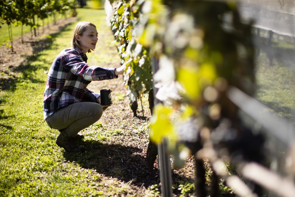 In this Thursday, Sept. 19, 2019, photo, Heather Leach, an entomologist who does lanternfly outreach at Penn State Extension inspect grape vines in Ku...