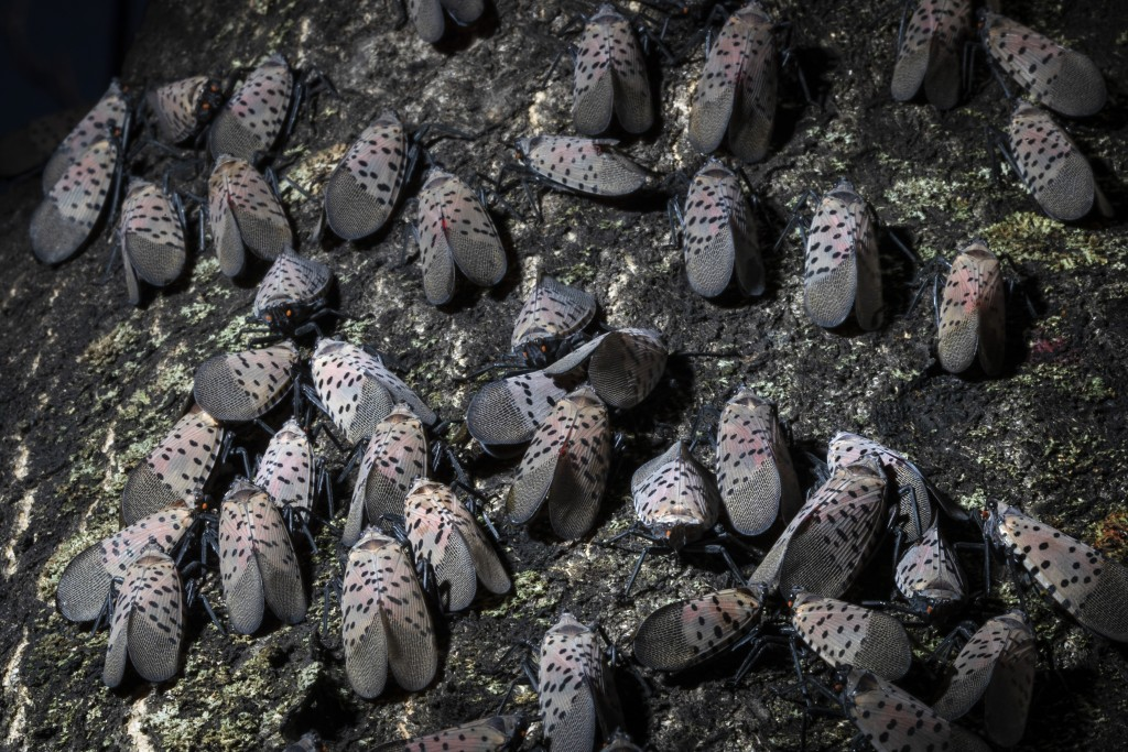 In this Thursday, Sept. 19, 2019, photo, spotted lanternfly gather on a tree in Kutztown, Pa. The spotted lanternfly has emerged as a serious pest sin...