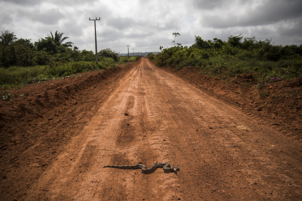 In this Sept. 2, 2019 photo, a boa constrictor slithers across a red dirt road leading to Tekohaw, in Para state, Brazil, where members of the Tembe t...