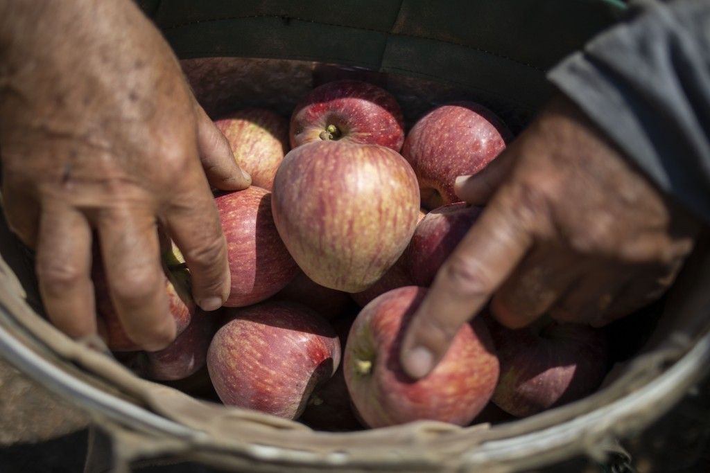 In this Sept. 10 2019 photo, Druze farmer Noraldeen Masoud holds apples harvested from his farmland in the Israeli-controlled Golan Heights, near the ...