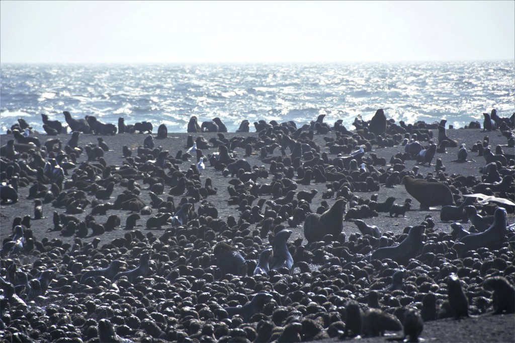 This August 2019 photo released by the National Oceanic and Atmospheric Administration Fisheries (NOAA) shows northern fur seal adults and pups on a b...
