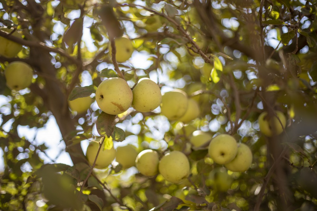 In this Sept. 10 2019 photo, apples hang on a tree on Druze farmland in the Israeli-controlled Golan Heights, near the border with Syria. Towering win...