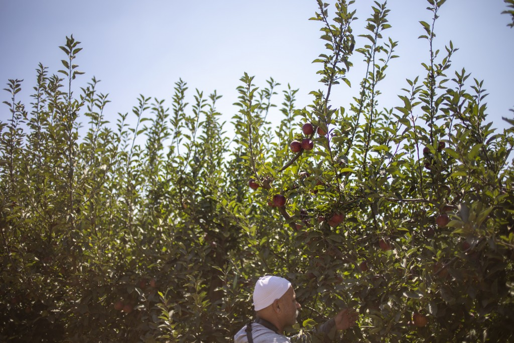 In this Sept. 10 2019 photo, Druze farmer Noraldeen Masoud works on his farmland in the Israeli-controlled Golan Heights, near the border with Syria. ...