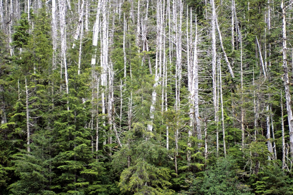 FILE - In this 2005 file photo provided by the USDA Forest Service in Juneau, Alaska, yellow cedars grow in the West Chichagof–Yakobi Wilderness, nort...