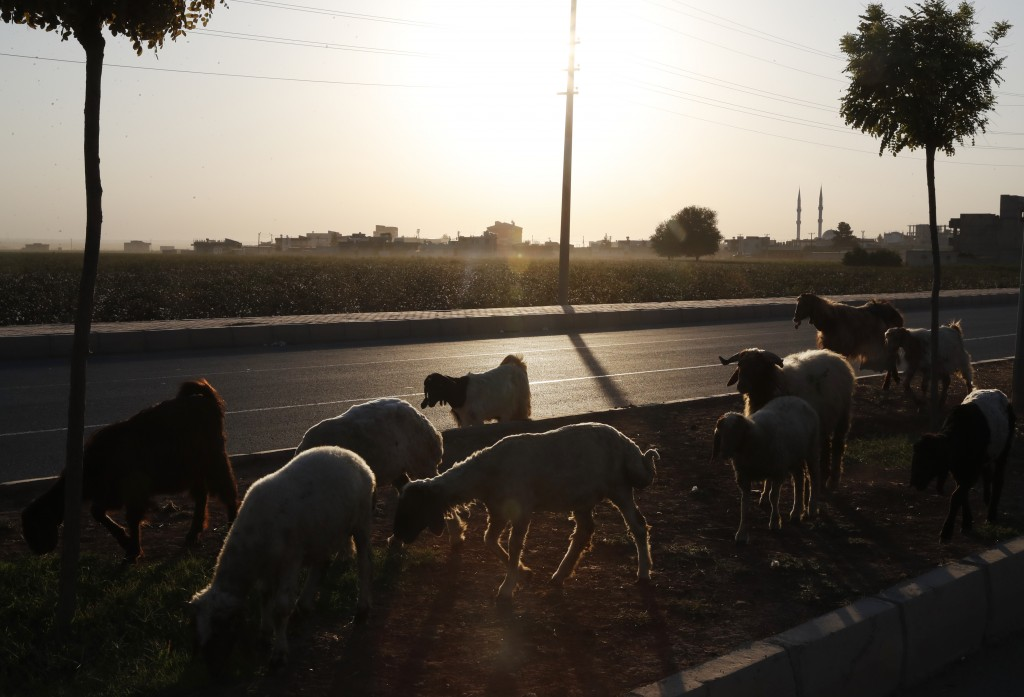 Sheep are led in Akcakale, Sanliurfa province, southeastern Turkey, at the border with Syria, Saturday, Oct. 12, 2019. The towns along Turkey's border