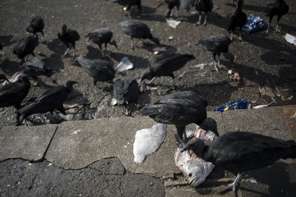 In this Sept. 7, 2019 photo, birds eat the remains of fish discarded by vendors at the Ver-o-Peso riverside market in Belém, Brazil. The Ver-o-Peso op...