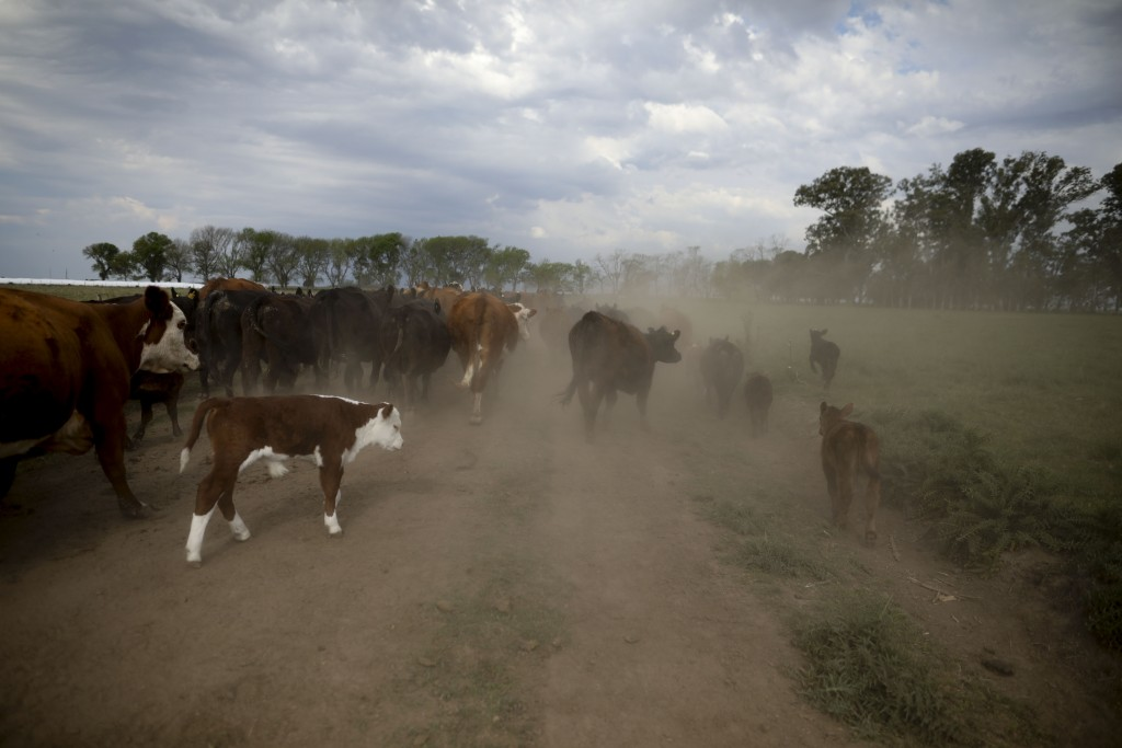 This Oct. 9, 2019 photo shows cattle belonging to farmer Sebastian Campo on the outskirts of Pergamino, Argentina. Export restrictions imposed during ...
