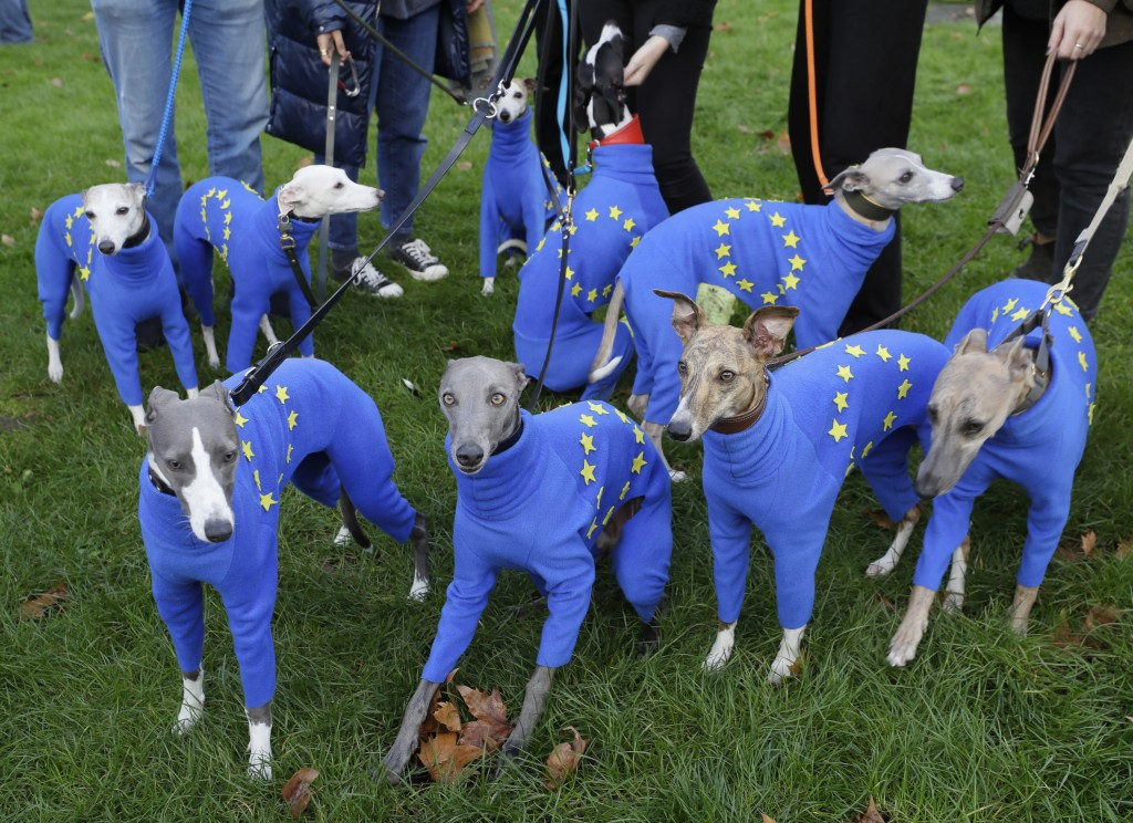 Whippets wear clothing with the EU flag during anti-Brexit protests in London, Saturday, Oct. 19, 2019. Britain's Parliament is set to vote in a rare ...