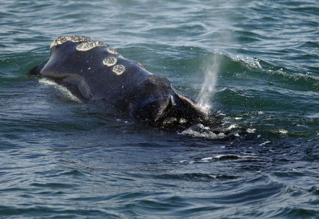 FILE - In this March 28, 2018 file photo, a North Atlantic right whale feeds on the surface of Cape Cod bay off the coast of Plymouth, Mass. A group r...
